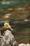Bergeronnette des ruisseaux ( Motacilla cinerea) © JlS