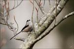 Mésange à longue queue ( Aegithalos caudatus)  © JlS