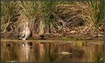 Pigeon ramier (Columba palumbus) ©JlS