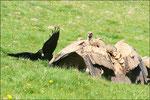 3) Grand Corbeau © JlS