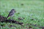 Rougequeue noir juvénile ( Phoenicurus ochuros ) © JlS