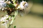 Sous une des fleurs, une Araignée embusquée attend son heure © JlS