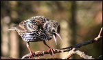 Etourneau sansonnet (Sturnus vulgaris) ©JlS
