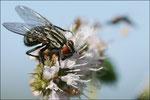 Une mouche ( ) se pose sur la plante © JlS