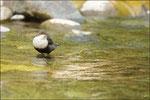 Cincle plongeur ( Cinclus cinclus ) © JlS