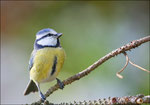 Mésange bleue ( Parus caerulus) ©JlS