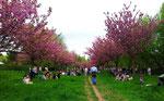 """..für die vielen Besucher. Viele von ihnen lagern zur """"Hanami"""" unter den Bäumen"""