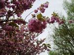 Die Kirschbäume wurden gestiftet von japanischen Bürgern aus Freude über die Wiedervereinigung Deutschlands