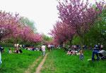 ..und heute bilden die Tausende blühender Bäume eine großartige Kulisse...