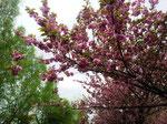 Dieses Jahr standen die Kirschbäume zum Fest in voller Blüte