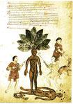 Quelle: Pseudo-Apuleius 13. Jahrhundert
