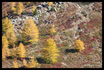 Mélèzes (Larix decidua) en automne