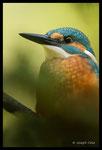 Martin-pêcheur d'Europe (Alcedo atthis), mâle