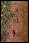 Traces de blaireau le long d'un ruisseau temporaire