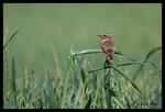 Tarier des prés (Saxicola rubetra)