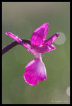 Orchis bouffon (Anacamptis morio)