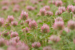 Trifolium hirtum