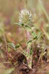 Trifolium sylvestris