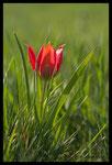 Tulipe d'Agen (Tulipa agenensis)