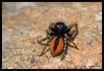 Araignée sauteuse (Philaeus chrysops, mâle)