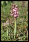 Orchis lacté (Neotinea lactea)