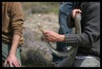 Manipulation d'une Couleuvre de Montpellier (mâle) lors d'un suivi scientifique