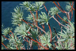 Euphorbe arborescente (Euphorbia dendroides)
