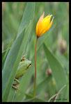 Rainette méridionale (Hyla meridionalis)