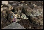 Couleuvre à collier (Natrix natrix) faisant la morte
