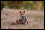 ... usé par les parasites - Renard roux (Vulpes vulpes)