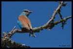 Rollier d'Europe (Coracias garrulus)
