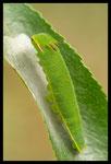 Chenille de Nymphale de l'Arbousier ou Pacha à deux queues (Charaxes jasius)
