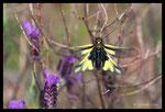 Ascalaphe soufré (Libelloides coccajus)