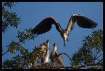 Hérons cendrés (Ardea cinerea) - Envol d'un adulte après nourrissage