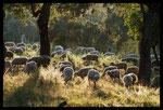 Pâturage ovin en plaine des Maures (83)
