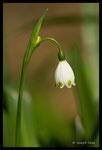 Nivéole élégante (Leucojum pulchellum)