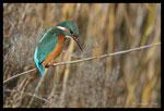 Martin-pêcheur d'Europe (Alcedo atthis), femelle