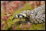 Jeune Couleuvre à échelons (Rhinechis scalaris)