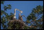 Prise de bec - Jeunes Hérons cendrés (Ardea cinerea) au nid