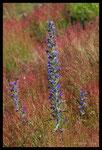 Vipérine commune (Echium vulgare)