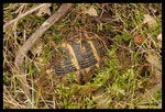 Tortue d'Hermann (Testudo hermanni hermanni) en hibernation