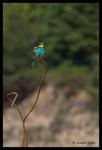Guêpier d'Europe (Merops apiaster)