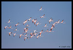 Flamants rose (Phoenicopterus roseus)