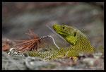 Lézard ocellé (Timon lepidus) mâle