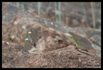 Lézard ocellé (Timon lepidus) immature