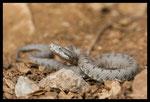 """Vipère aspic (Vipera aspis) du Gard, forme grise dite """"Vipère des garrigues"""""""