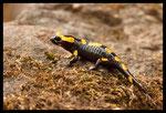 Jeune Salamandre tachetée (Salamandra salamandra)