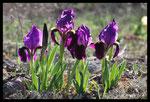 Iris nain (Iris lutescens)