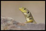 Lézard ocellé (Timon lepidus) subadulte