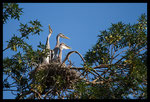 Jeunes Hérons cendrés (Ardea cinerea) au nid